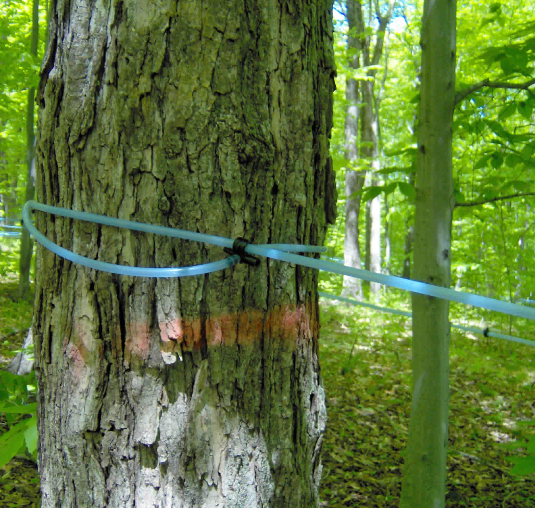 background-sugar-maple-closeup-sap-lines